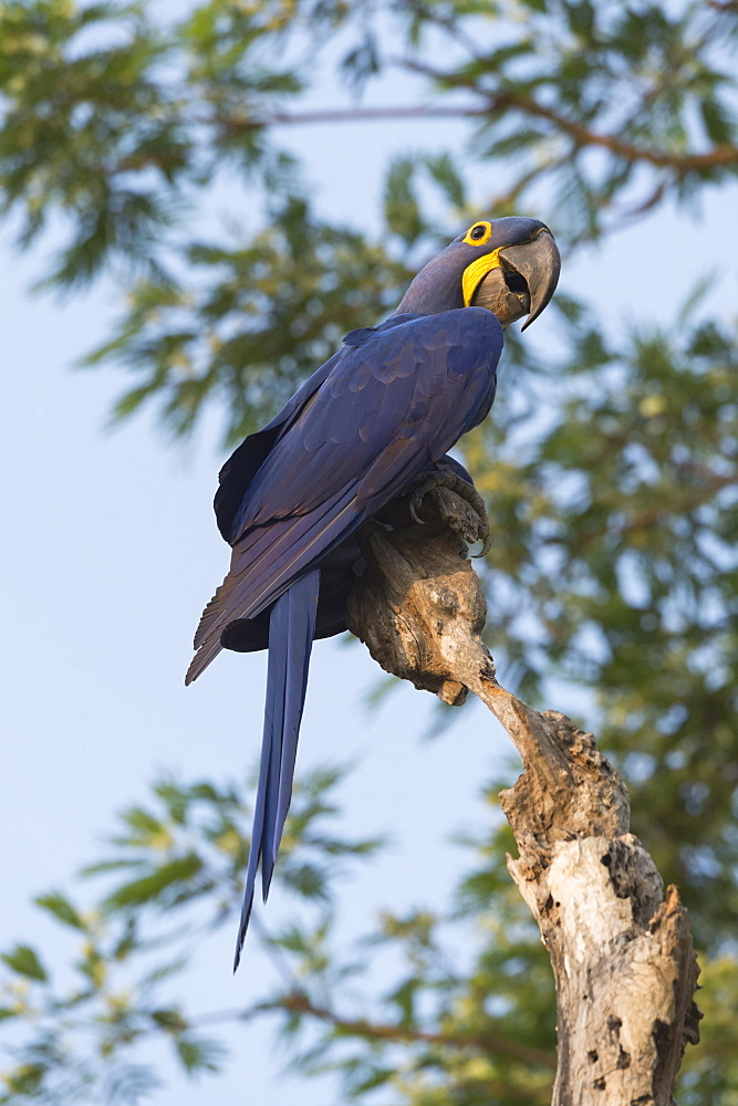 Hyacinth macaw (Anodorhynchus hyacinthinus) in a tree, Pantanal, Mato Grosso, Brazil, South America