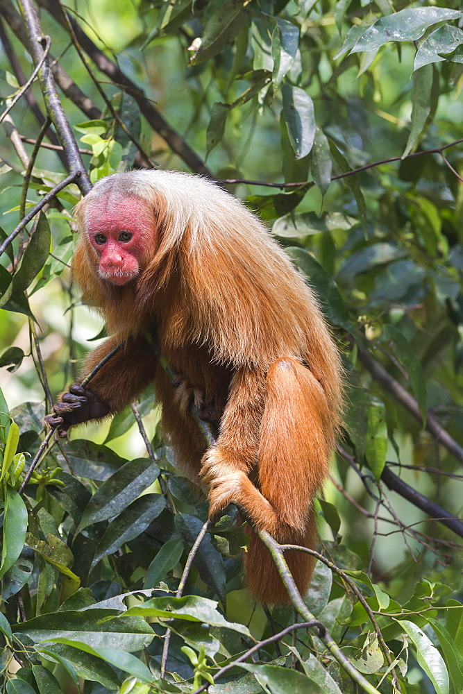 Red bald-headed Uakari monkey also known as British Monkey (Cacajao calvus rubicundus), Amazon state, Brazil, South America