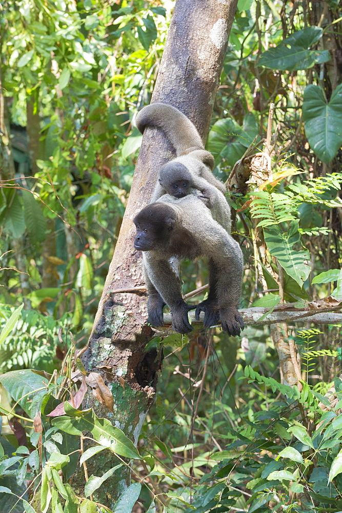 Female brown woolly monkey (Lagothrix lagotricha) with its baby, Vulnerable, Amazon state, Brazil, South America