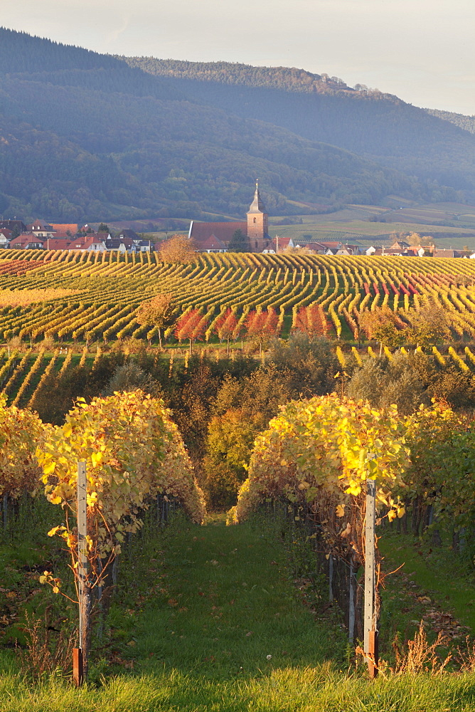 View over vineyards to the wine village of Burrweiler in autumn, German Wine Route, Pfalz, Rhineland-Palatinate, Germany, Europe