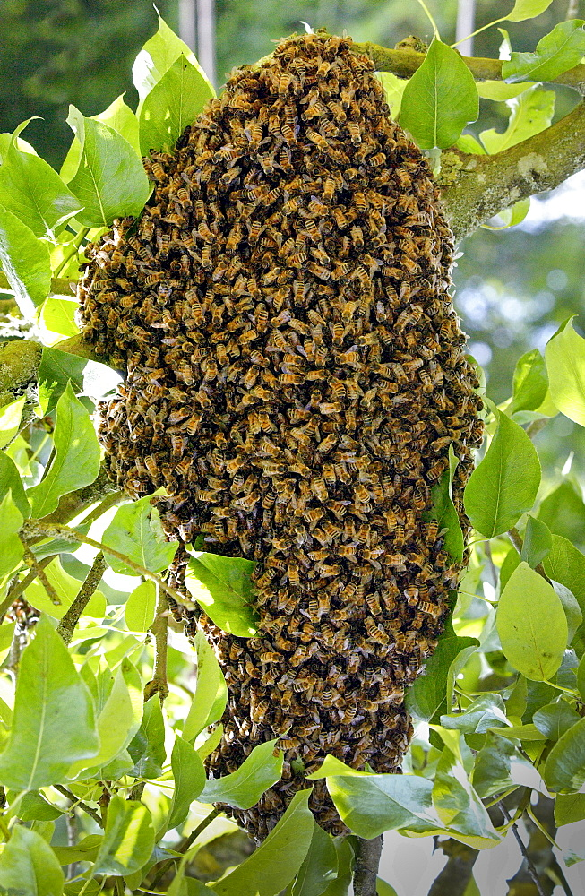 Honey bees swarming in a plum tree in the Cotswolds, UK - 1161-1226