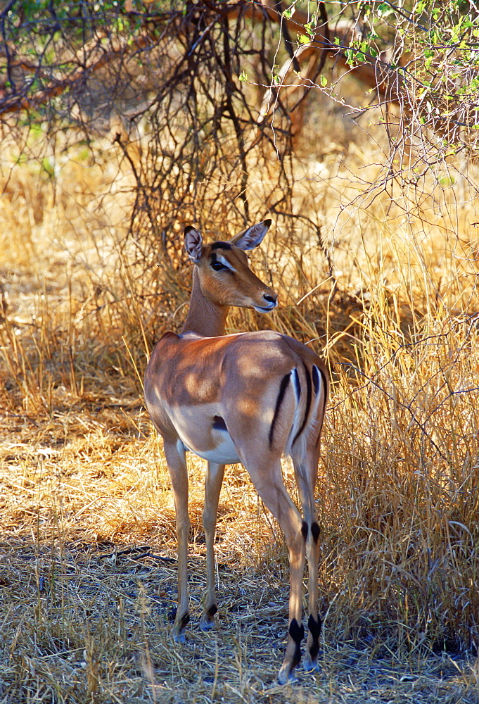 Impala looking over its shoulder watching for predators at Moremi National Park, Botswana