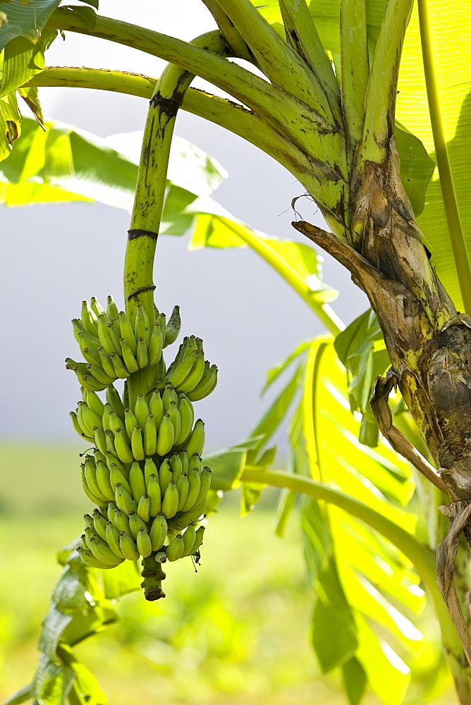 Banana Tree, Queensland, Australia