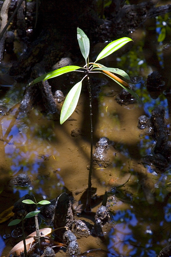 Young Mangrove shoot grows in the Daintree World Heritage Rainforest, Australia