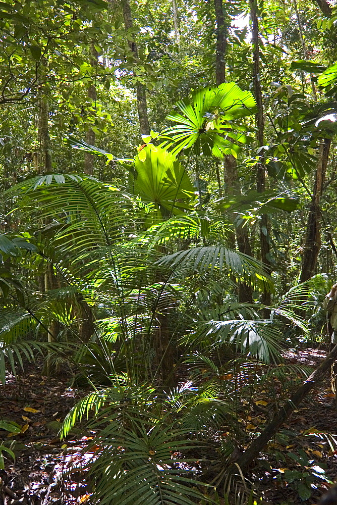Ferns and palms in the rainforest, Daintree, North Queensland, Australia