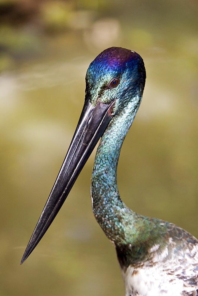 Black-necked stork, Queensland, Australia