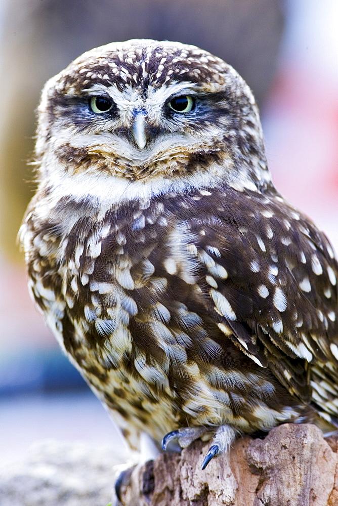 British Little Owl, Charlton Park, Wiltshire, England, United Kingdom