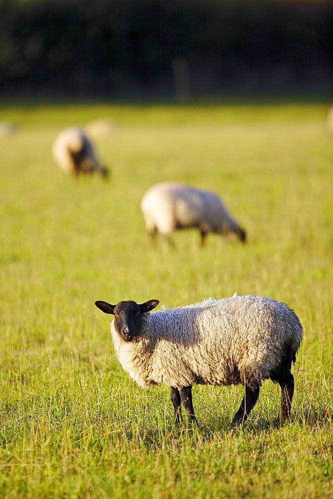 Blackfaced sheep grazing in Oxfordshire, United Kingdom