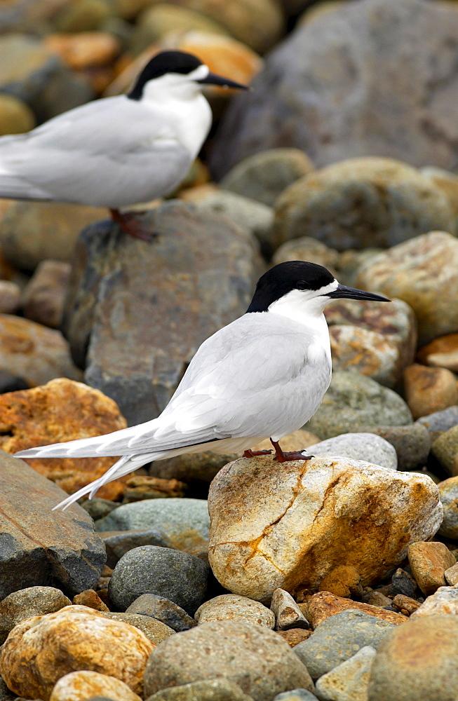 White-fronted terns (Sterna Striata)  in North Island, New Zealand