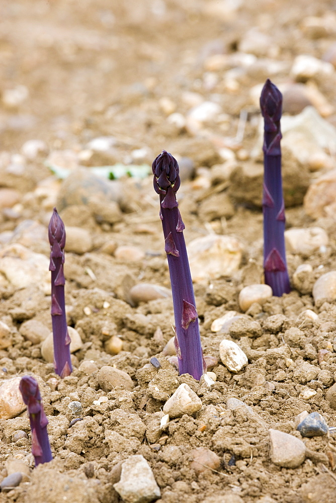 Purple asparagus spears growing in stony ground in the Vale of Evesham, Worcestershire, England, United Kingdom