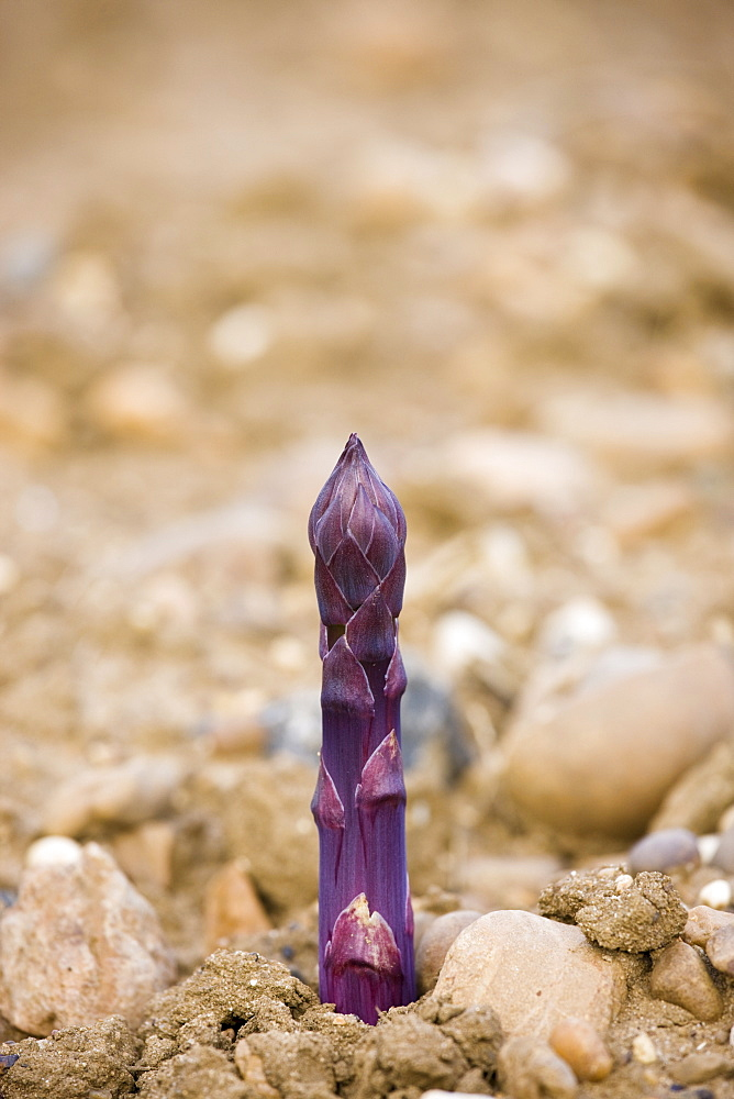 Purple Asparagus spear growing in stony ground at Revills Farm in the Vale of Evesham, Worcestershire, UK