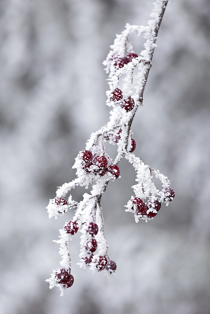 Winter scene hoar frost ice crystals on hawthorn berries in The Cotswolds, UK