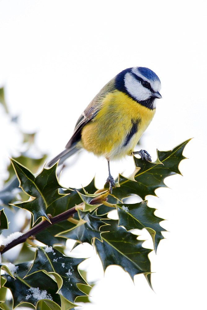 Blue tit perches in holly bush during winter in The Cotswolds, UK - 1161-4146