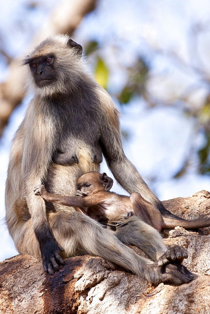Indian Langur monkeys, Presbytis entellus, female and baby in Banyan Tree in Ranthambore National Park, Rajasthan, India