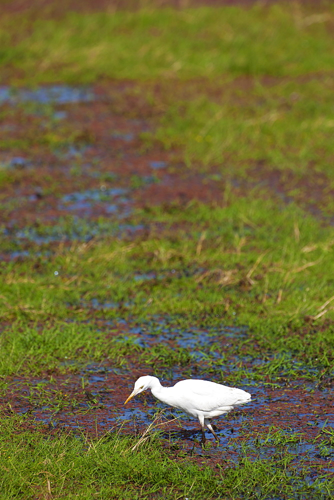 Cattle egret bird (Bubulcus ibis) in Ranthambhore National Park, Rajasthan, Northern India