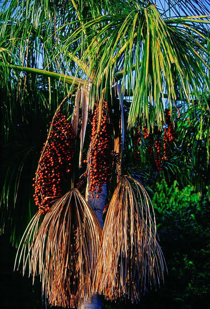 Palm tree near Lake Sandoval, Peruvian Rainforest, South America