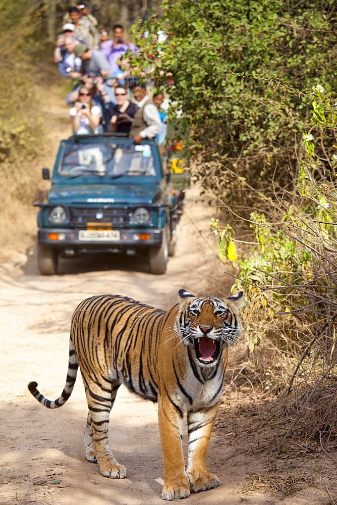Tourists watch female Bengal tiger, Panthera tigris tigris, in Ranthambore National Park, Rajasthan, India - 1161-4838