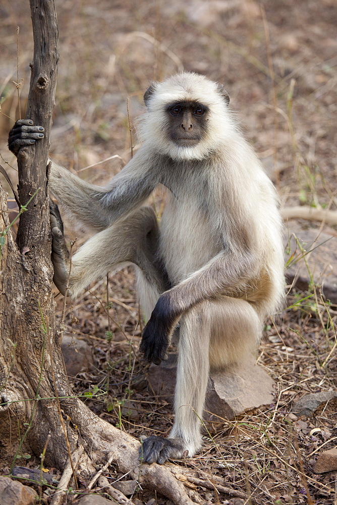 Indian Langur monkey, Presbytis entellus, on tree branch in Ranthambhore National Park, Rajasthan, Northern India