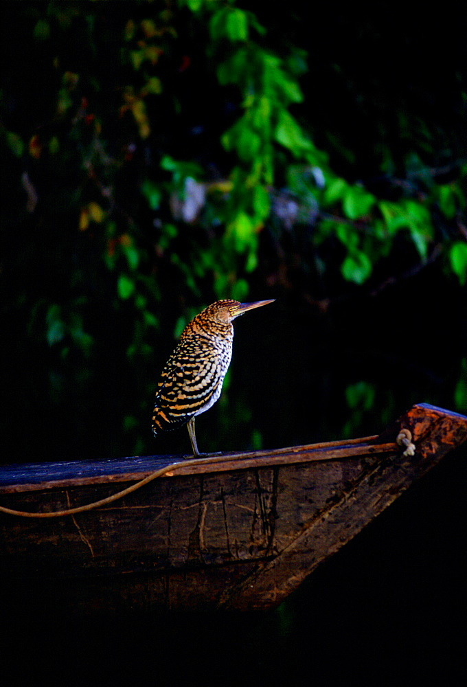 Juvenile Tiger Heron on the prow of a boat on Lake Sandoval, Peruvian Rainforest, South America