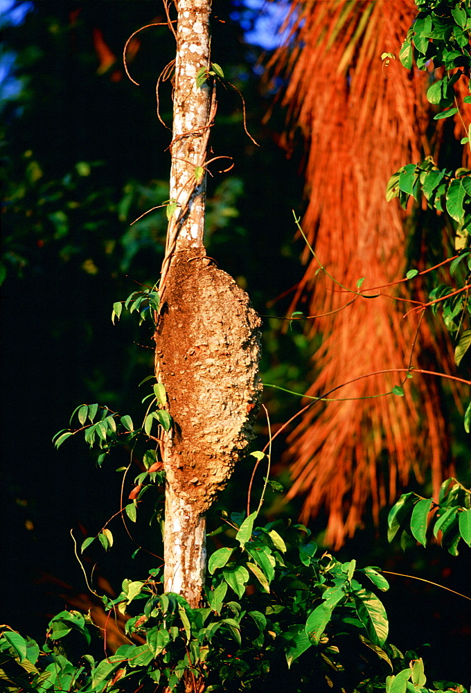 Termite nest on a palm tree at Lake Sandoval,Peruvian Rainforest, South America