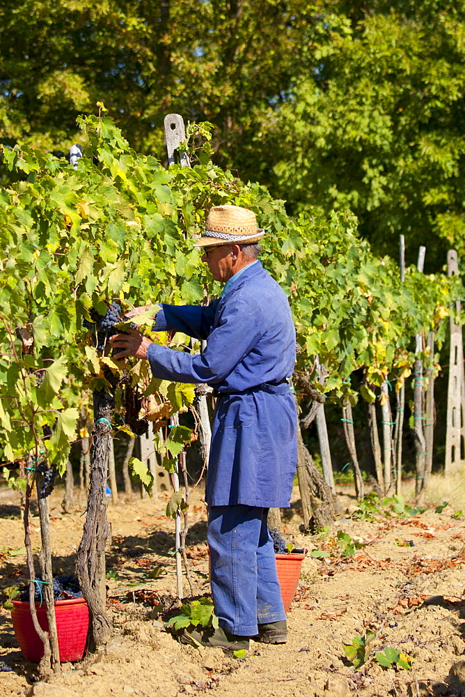 Man picking Sangiovese Chianti Classico grapes at Pontignano in Chianti region of Tuscany, Italy