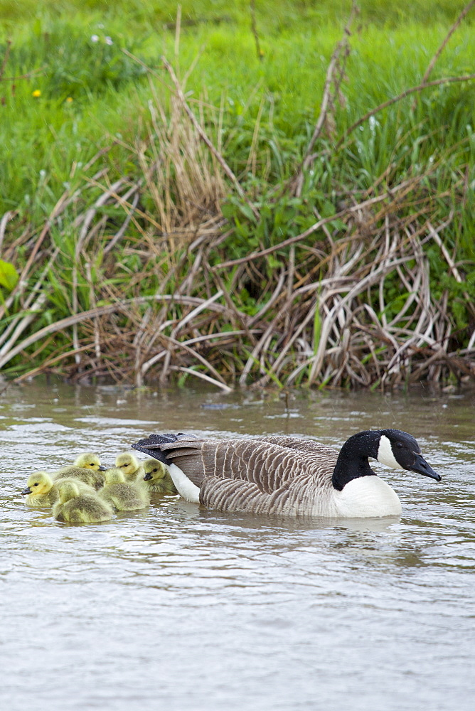 Female Canada Goose, Branta canadensis, with young goslings, on River Windrush at Swinbrook, the Cotswolds, UK