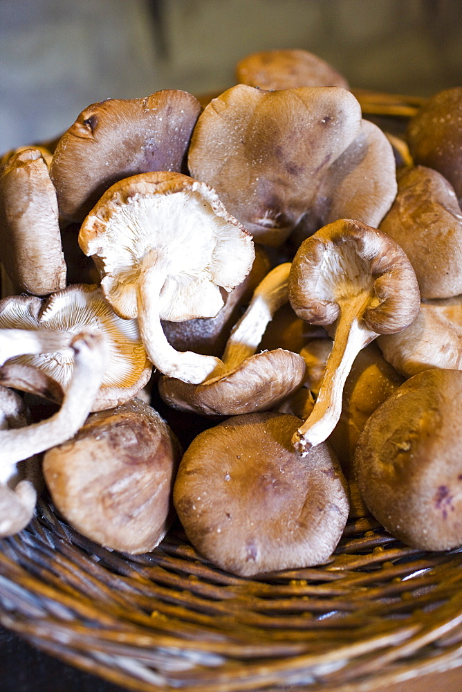 Basket of shitake mushrooms in former troglodyte cave at Le Saut aux Loups, Loire Valley, France