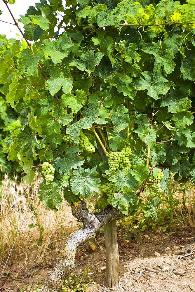 Green grapes growing on the vines of Saumur Champigny, Loire Valley, France