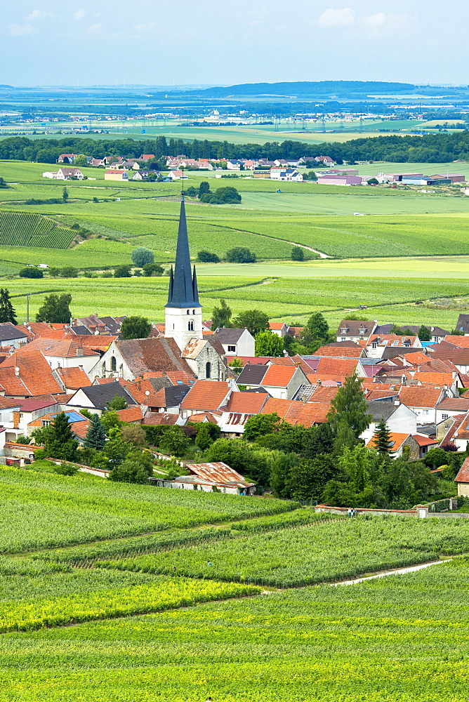 Chardonnay vines at the village of Chamery in the Champagne-Ardenne region, France, Europe