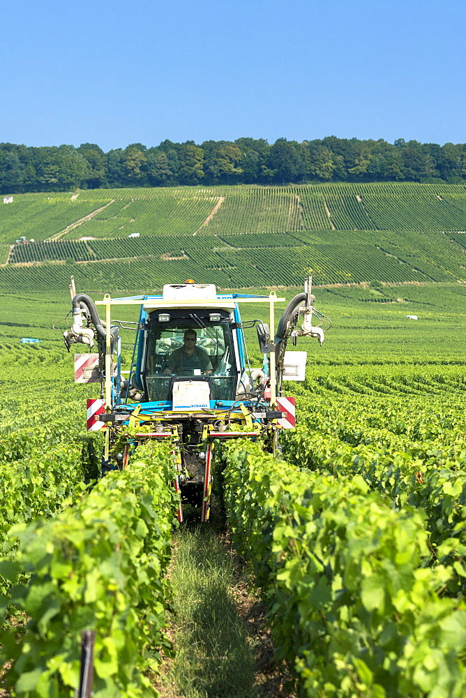 Vine tractor trimming grapevines along the Champagne Tourist Route in Vertus, the Marne Valley, Champagne-Ardenne, France, Europe