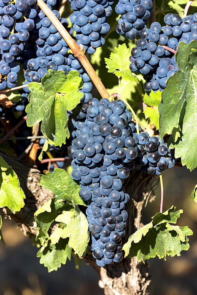 Tempranilla black grapes for Rioja red wine in vineyard in Rioja-Alavesa area of Basque country, Euskadi, Spain, Europe