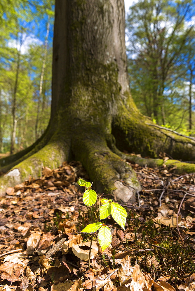 Beech tree sapling (Fagus sylvatica) at base of mature beech tree in Bruern Wood in The Cotswolds, Oxfordshire, England, United Kingdom, Europe