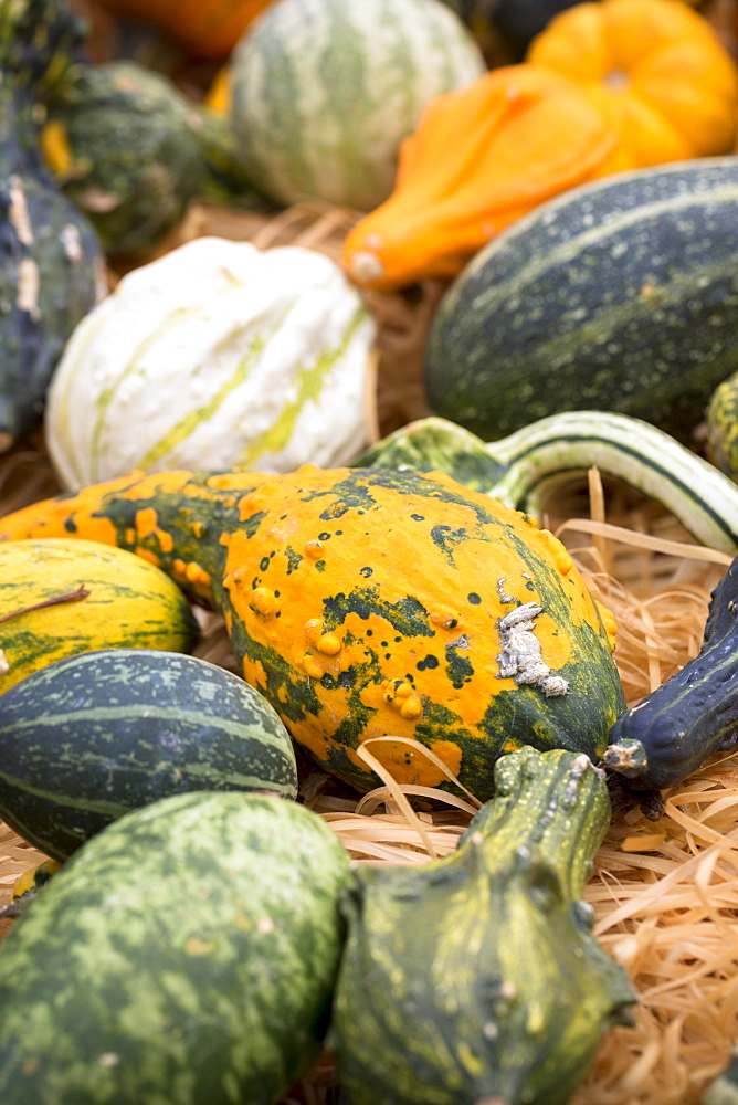 Locally-grown freshly-picked pumpkin and squash displayed for sale in Pays de La Loire, France, Europe