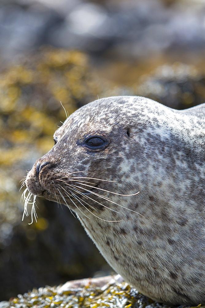 Close-up of head of common seal (harbour seal) (Phoca vitulina), Isle of Skye, Inner Hebrides, Scotland, United Kingdom, Europe