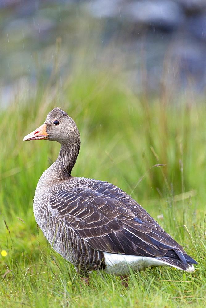 Greylag goose (Anser anser), Isle of Mull, Inner Hebrides and Western Isles, Scotland, United Kingdom, Europe