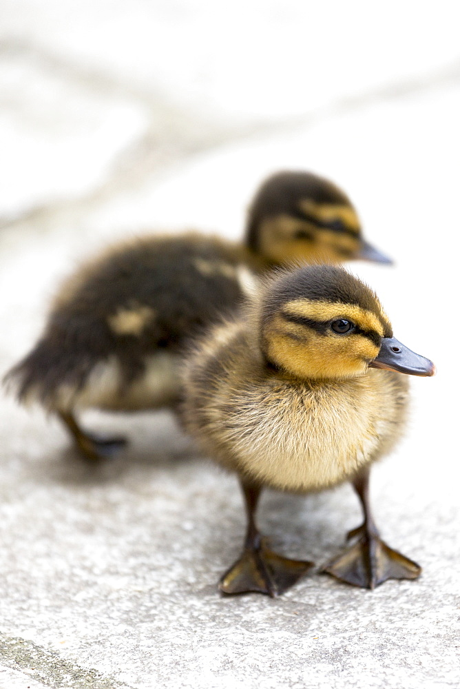 Cute fluffy newly hatched Mallard ducklings (Anas platyrhynchos), in England, United Kingdom, Europe