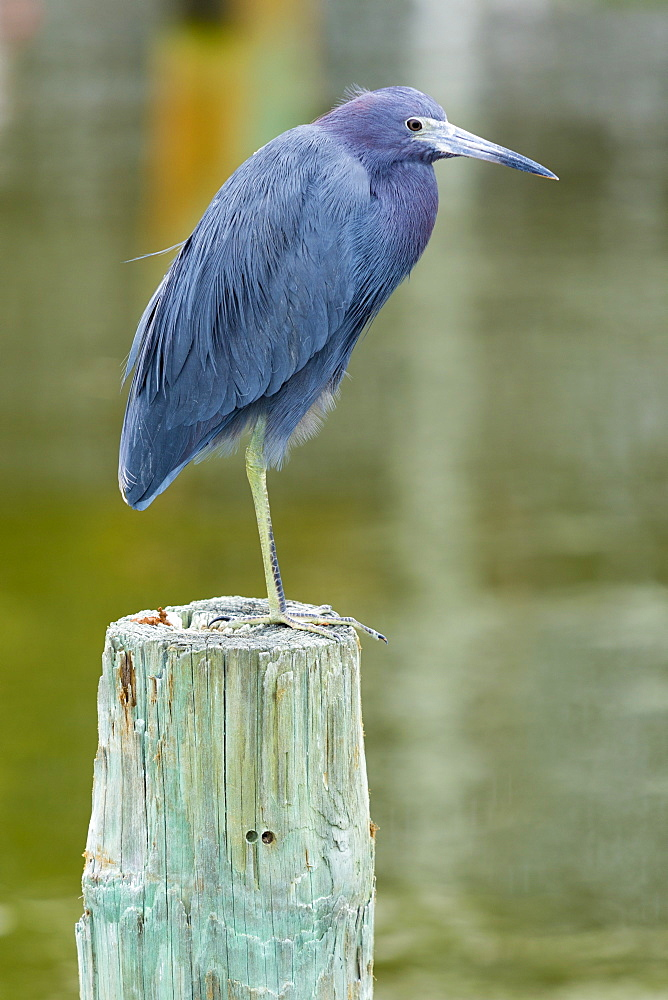 Little Blue Heron, Egretta caerulea, wading bird standing on one foot on a pole at Captiva Island, Florida, USA