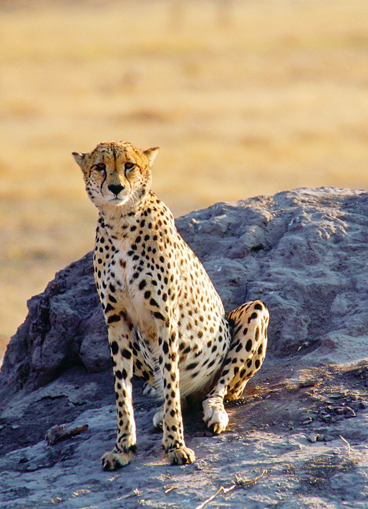 Cheetah using an old termite mound to watch for approaching prey in Moremi National Park, Botswana, Africa