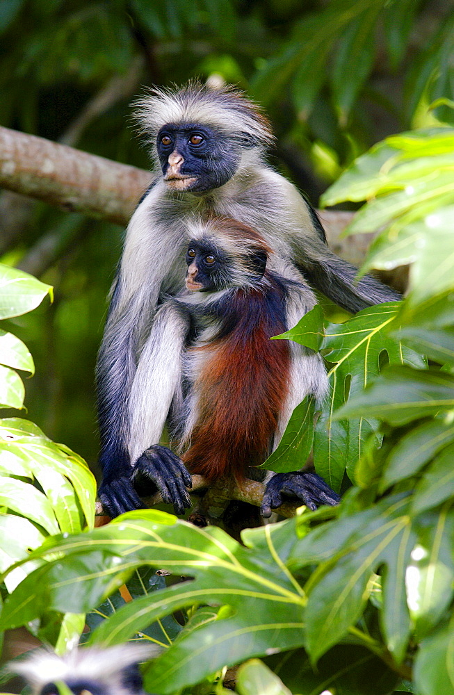 Zanzibar Red Colobus monkey with young, one of Africa's rarest primates