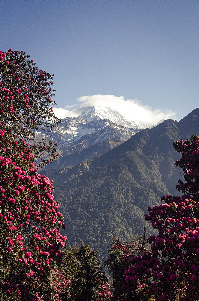 Annapurna South, 7219m, framed by blossoming rhododendron trees (Rhododendron arboreum), Ghorepani, 2874m, Annapurna Conservation Area, Nepal, Himalayas, Asia  - 1163-73
