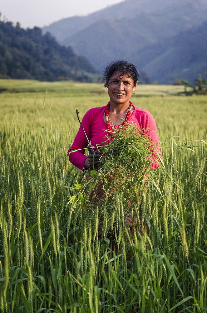 A woman collecting forage for her livestock, near Talamarang, Helambu, Nepal, Asia - 1163-90