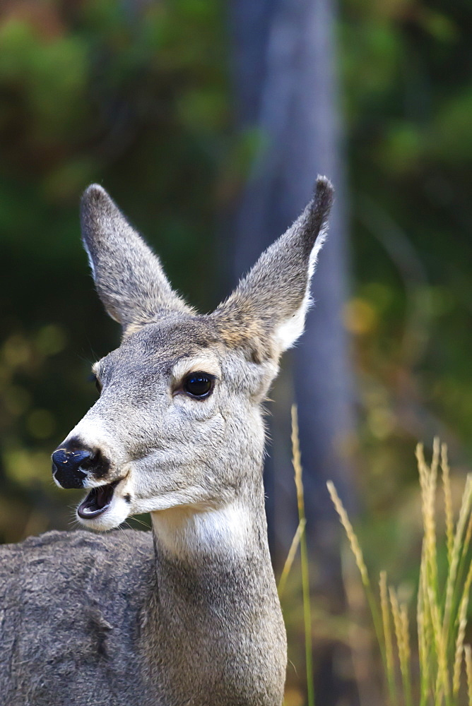 Mule deer (Odocoileus hemionus) with open mouth, Grand Teton National Park, Wyoming, United States of America, North America