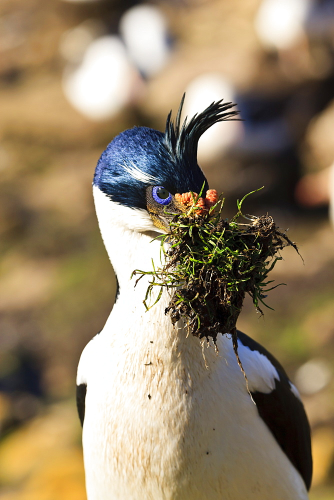 King cormorant (Imperial cormorant) (Phalacrocorax atriceps) with nest materials, the Neck, Saunders Island, Falkland Islands, South America