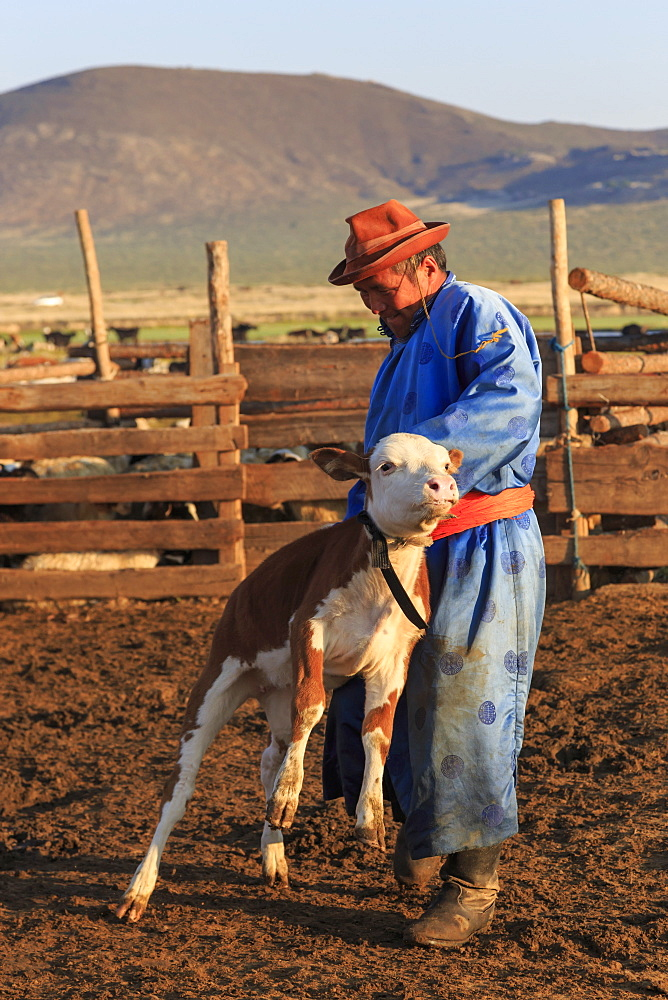 Man in traditional clothing (blue deel) handles calf in pen, dawn milking, Summer, Nomad camp, Gurvanbulag, Bulgan, Mongolia, Central Asia, Asia