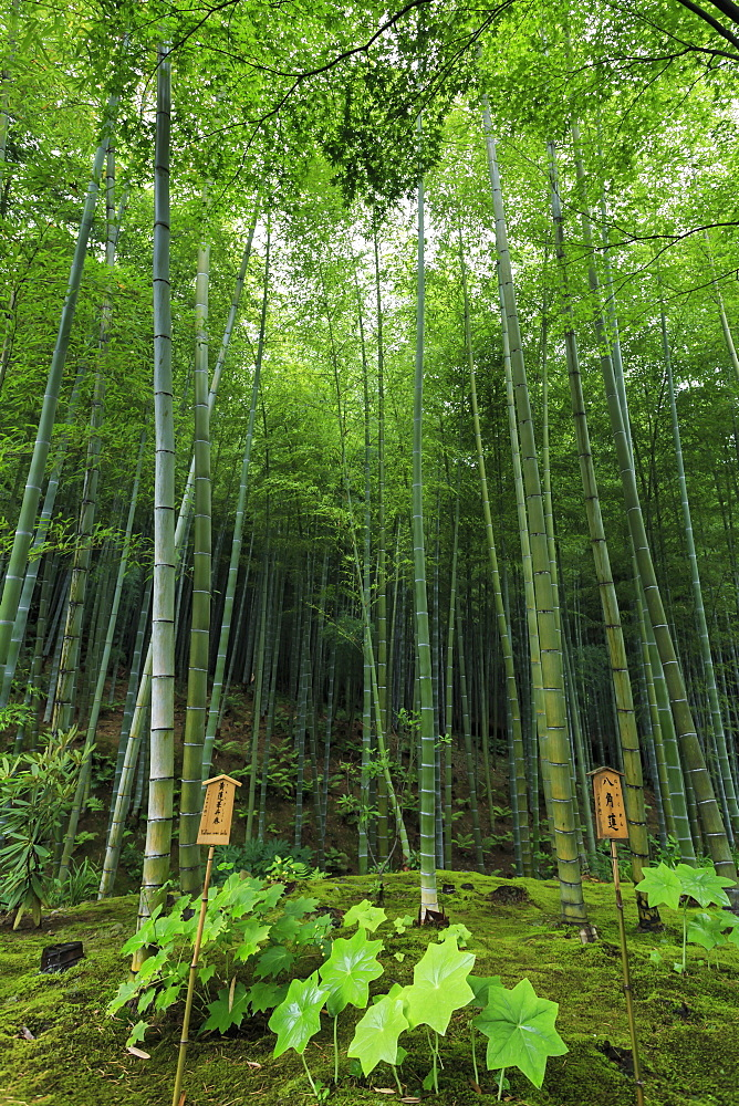 Tenryu-ji temple garden bamboo grove with under-planting in summer, Arashiyama, Kyoto, Japan, Asia