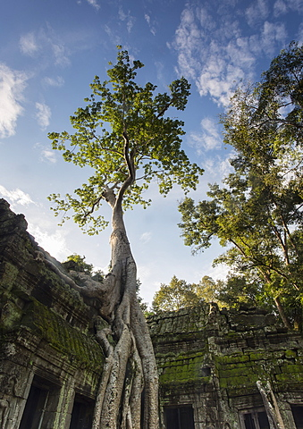 Temple overgrown by jungle, Tetrameles nudiflora tree with roots, Ta Prohm Temple, Angkor, UNESCO World Heritage Site, Siem Reap, Cambodia, Indochina, Southeast Asia, Asia - 1170-190