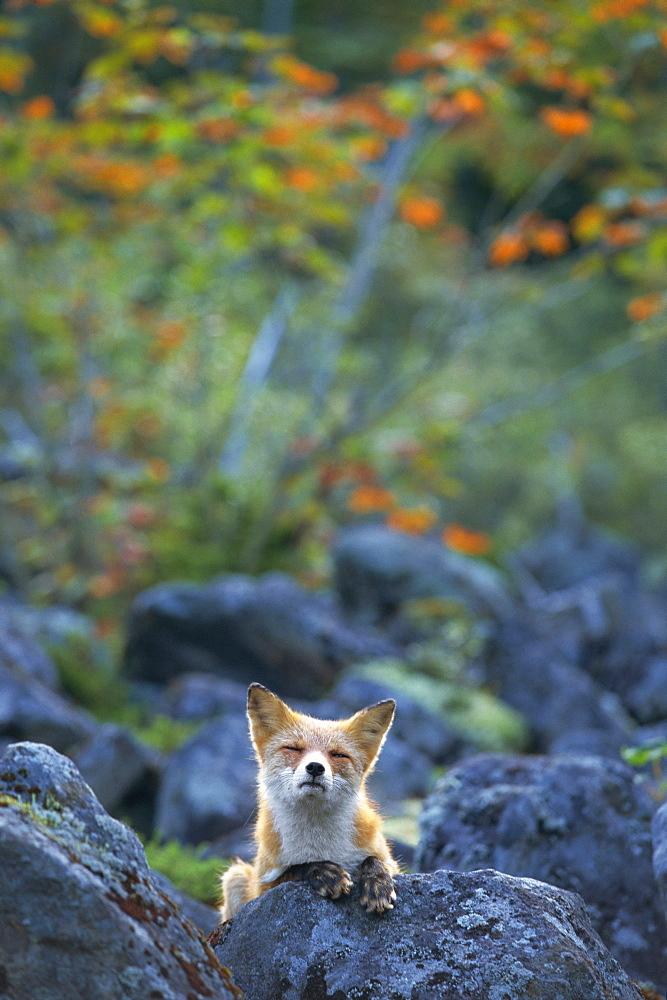 Ezo Red Fox, Hokkaido, Japan