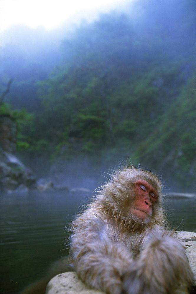 Japanese Monkey