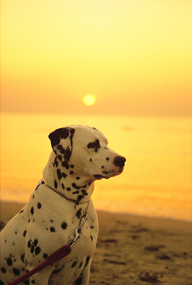 Dalmatian Sitting on Beach