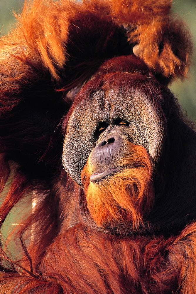 Orangutan Scratching its Head